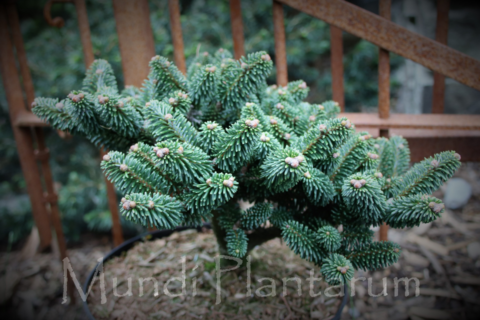 Abies Delavayi Major Neish Mundi Plantarum