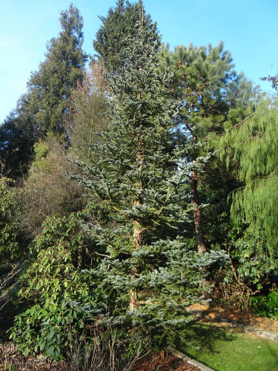 In The Wild 34 Of The Conifers Are In The Process Of Extinction
